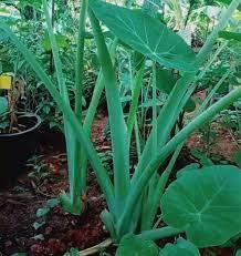 ต้นออดิบหรือต้นคูน ชุด7ต้น#ต้นพันธ์#เหง้า#แม่พันธ์#แขนง  ปลูกง่ายปลูกยังงัยก็รอดสามารถปลุกในกระถางได้ ทานอร่อยมาก