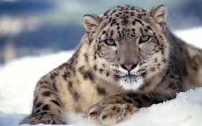 Snow leopard wallpaper ...