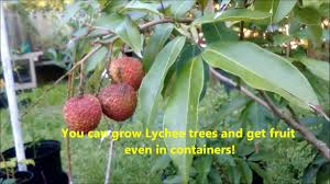 Planting Fruit Trees In Clay Soil  YouTubeHow Often Should I Water My Fruit Trees