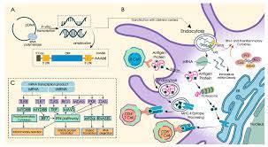 mRNA vaccine - Wikipedia