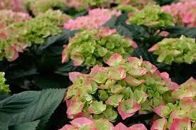 ShrubsShrub With Pink Flowers