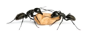 Little Black Bugs In Kitchen Carpenter Ant Control Carpenter Ant Treatments How To Treat