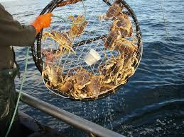 cage trap filled with dungeness crabs