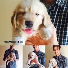 awesome quality puppies available in mumbai navi mumbai vashi panvel airoli thane virar vasai dombivli kalyan ulhasnagar