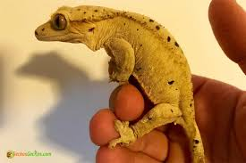 dalmatian crested gecko for