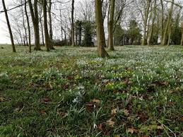 snowdrops at the gardens of easton lodge 7083872