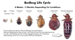 Bed bug sizes Baby Bedbug Life Cycle infographic The Bed Bug Inspectors What Does Bed Bug Larvae Look Like