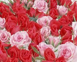 Beautiful Rose Flower Wallpaper Free ...