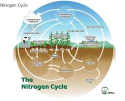 43 A Flow Chart Of Nitrogen Cycle