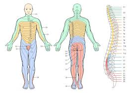 Dermatomal Pattern Delectable Dermatome Chart Integrative Works