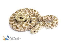 Designer Morphs Western Hognose Snakes Western Hognose Snake Heterodon Nasicus Toffee Belly