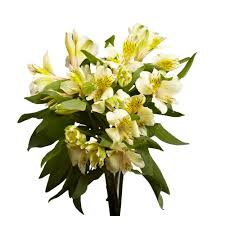globalrose fresh cream alstroemeria flowers 80 stems 320 blooms