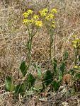 Flora of Zimbabwe: Genus page: Senecio