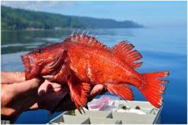 Rockfish Identification Chart Rockfish Washington Department Of Fish Wildlife