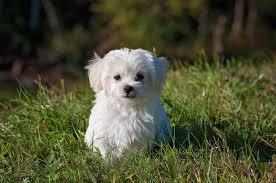 white maltese dog breed