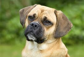 black and brown puggle.  Brown Puggle Dog Breed Picture On Black And Brown