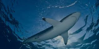 shark conservation sharkopedia