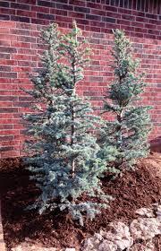 Horstman Blue Atlas Cedars ~ Great for flower beds!   Garden Trees ...