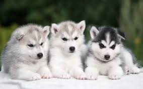 baby husky wallpaper.  Wallpaper HD Wallpaper  Background Image ID740803 With Baby Husky H