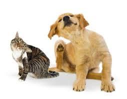 Resultado de imagen para imagenes de dermatitis alergica de las pulgas en perros y gatos