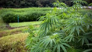 Hemp Uses Chart Follow This Company To Profit From Hemp Not Marijuana