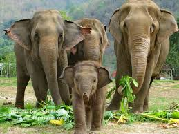 baby elephant photo   save elephant foundationbaby elephant steps aways from herd