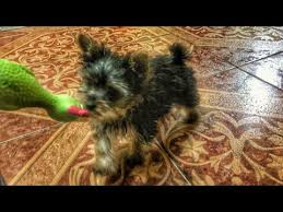 yorkie playing with toy yorkshire terrier puppy life