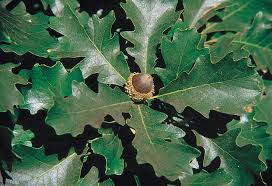 Oak Tree Growth Rate Chart Quercus Macrocarpa Wikipedia