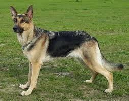 Image result for gsd dog