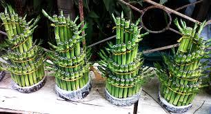 Hasil gambar untuk bambu hoki