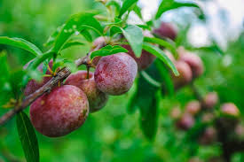 Image result for beach plum
