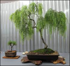 weeping willow bonsai trees bought bonsai tree