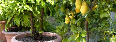 8 great fruit trees for pots natria
