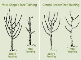 Pruning Tips For My Peach Tree  Edible Garden  Pinterest Cherry Fruit Tree Care