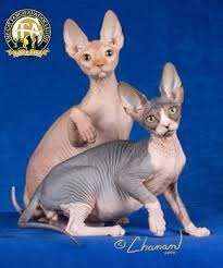 Sphynx Cat Color Chart Breed Profile The Sphynx