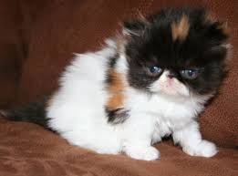 cute baby cats for sale. Interesting Cute Cute Baby Cats For Sale  Persian Kittens For And H
