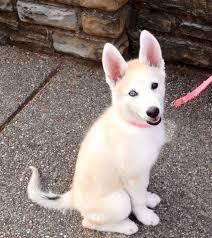 white german shepherd husky mix puppy. Beautiful Husky German Shepherd Husky Mix Gerberian Shepsky Throughout White German Shepherd Husky Mix Puppy Pinterest