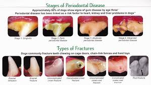 Dog Teeth Health Chart Common Dog Tooth Problems To Watch Out For Ruby Cavalier