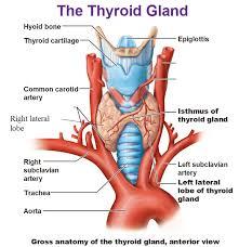 Thyroid Anatomy Gross Anatomy Of The Thyroid Gland Anterior View