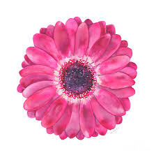 pink painting magenta gerbera daisy by amy kirkpatrick