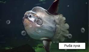 Биология класс Классы рыб Рыба луна