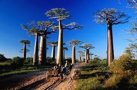 عمرها 3000 عام شجرة الحياة في إفريقيا تحتضر بس