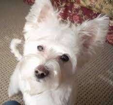 west highland white terrier maltese mix. Plain Maltese Close Up  A Perkeared White Highland Maltie Is Jumped Up Against A  Person Cali The West White Terrier  Maltese Mix  Throughout West Mix G
