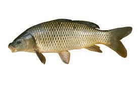 Fish Id Wisconsin Sea Grant