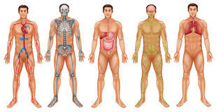 Body Systems Chart Body Systems Stock Illustration Illustration Of Diagram