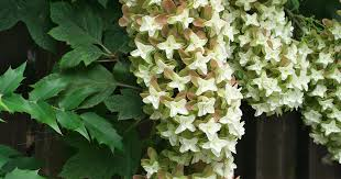 why and how to grow oakleaf hydrangeas