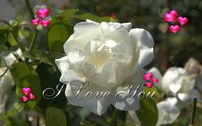white rose i love you
