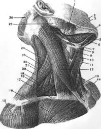 Реферат Мышцы и клетчатое пространство шеи Надподъязычная  Мышцы и клетчатое пространство шеи Надподъязычная область