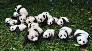 Giant Panda Population Chart Panda Populations Are Growing But Their Habitat Remains At