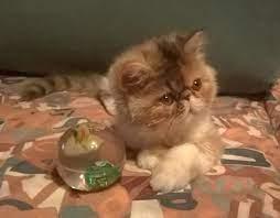 create meme persian funny cat